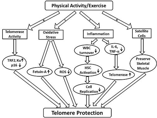 exercise and telomere protection