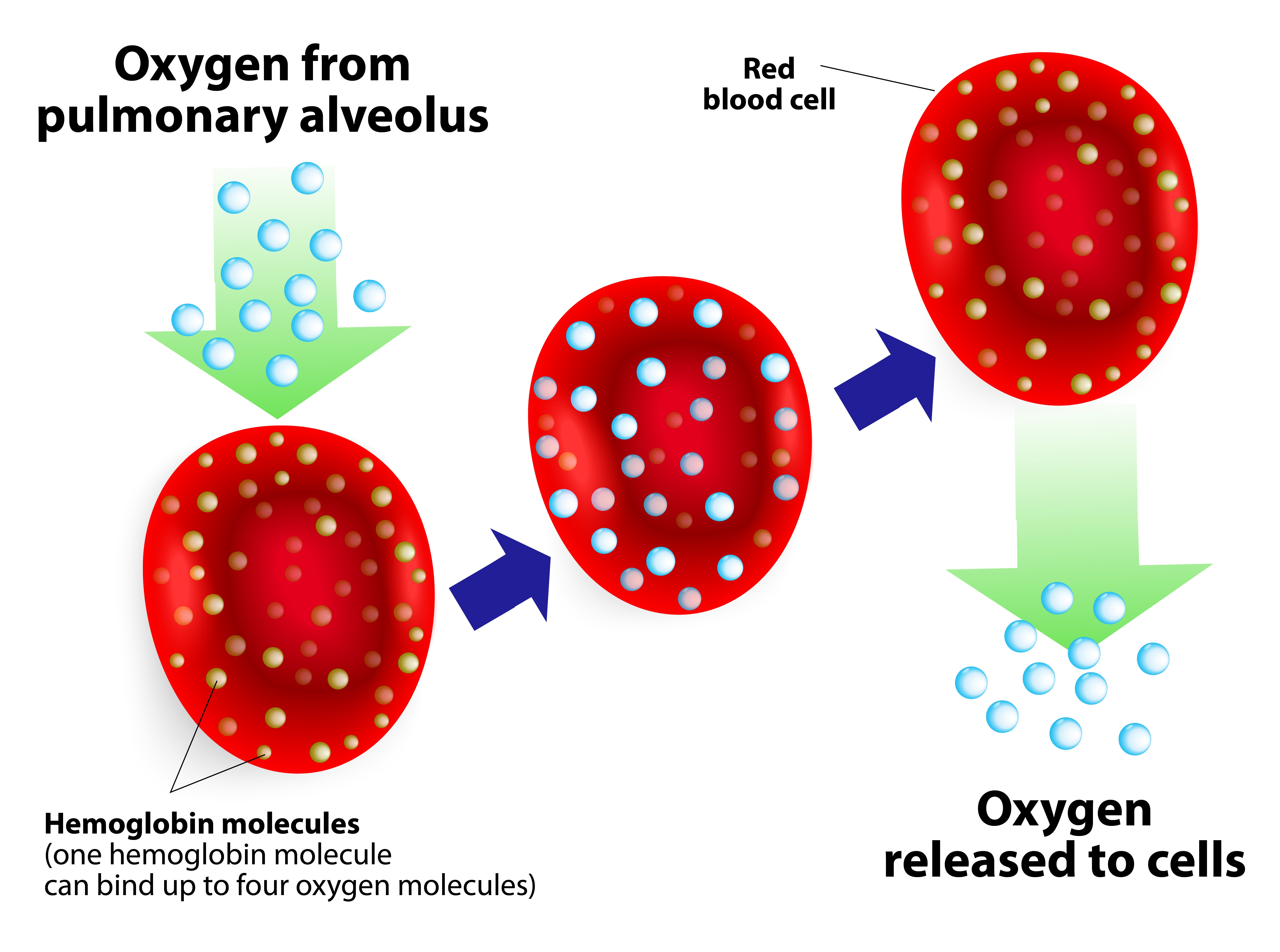 Hemoglobin_diagram